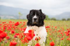 Landseer dog pure breed in poppy field flower. Landseer dog pure breed coquelicot flower sun beautiful landscape newfoundland isolated outdoor royalty free stock image
