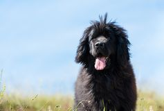 Landseer dog pure breed in poppy field flower. Landseer dog pure breed coquelicot flower sun beautiful landscape newfoundland isolated outdoor stock photography