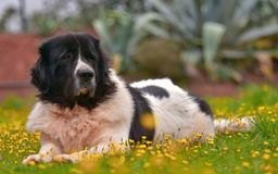 Landseer dog pure breed Stock Photo