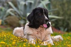 Landseer dog pure breed Royalty Free Stock Photos