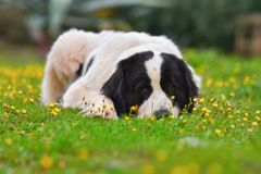 Landseer dog pure breed. In garden Stock Images