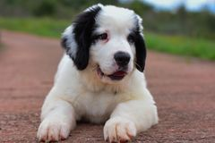 Landseer dog pure breed puppy Royalty Free Stock Photos