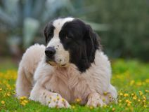 Landseer dog pure breed. In garden Royalty Free Stock Photo