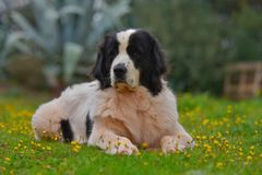 Landseer dog pure breed. In garden Royalty Free Stock Images