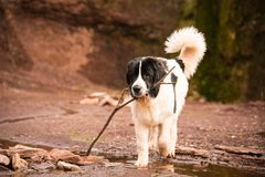 Landseer dog pure breed in white studio royalty free stock photo