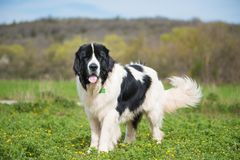 Landseer dog pure breed playing fun lovely puppy stock photo