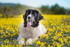 Landseer dog pure breed playing fun lovely puppy. Landseer dog pure breed in yellow flowers lovely dog female black and white stock image