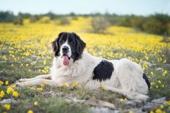 Landseer dog pure breed playing fun lovely puppy. Landseer dog pure breed in yellow flowers lovely dog female black and white stock photos