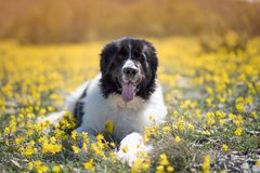 Landseer dog pure breed playing fun lovely puppy. Landseer dog pure breed in yellow flowers lovely dog female black and white stock photography