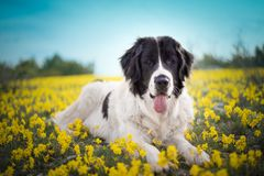 Landseer dog pure breed playing fun lovely puppy. Landseer dog pure breed in yellow flowers lovely dog female black and white royalty free stock photo