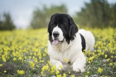 Landseer dog pure breed playing fun lovely puppy. Landseer dog pure breed in yellow flowers lovely dog female black and white royalty free stock photography