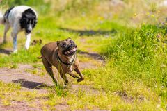 Landseer dog pure breed playing with stafford. Landseer dog pure breed playing with a staffordshire bull terrier royalty free stock images