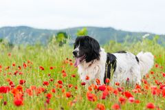Landseer dog pure breed in poppy field flower. Landseer dog pure breed coquelicot flower sun beautiful landscape newfoundland isolated outdoor stock photo