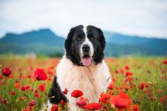 Landseer dog pure breed in poppy field flower. Landseer dog pure breed coquelicot flower sun beautiful landscape newfoundland isolated outdoor royalty free stock photos