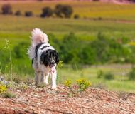 Landseer dog pure breed in poppy field flower. Landseer dog pure breed coquelicot flower sun beautiful landscape newfoundland isolated outdoor stock images
