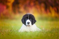 Landseer dog pure breed in white studio stock image