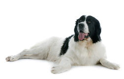 Landseer dog Royalty Free Stock Photos