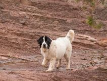 Landseer dog water work rescue dog Stock Photography