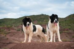 Landseer dog water work rescue dog Royalty Free Stock Photos