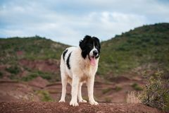 Landseer dog water work rescue dog Royalty Free Stock Image