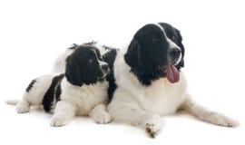 Landseer dogs Royalty Free Stock Image