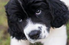 Landseer ECT che dà al cucciolo gli occhi Fotografie Stock
