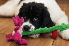 Landseer ECT che dà il cucciolo osserva mentre mastica la o Fotografia Stock Libera da Diritti