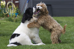 Landseer ECT and Cockapoo pups playing. A young female Landseer European Continental Type (ECT) playing with a male Cockapoo (Cocker Spaniel and Poodle mix) in Stock Photography