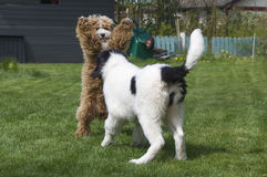 Landseer ECT and Cockapoo pups playing. A young female Landseer European Continental Type (ECT) playing with a male Cockapoo (Cocker Spaniel and Poodle mix) in Royalty Free Stock Image