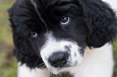 Landseer ECT giving the puppy eyes. A very young female Landseer European Continental Type (ECT) tries to woo the camera to do her bidding Stock Photos