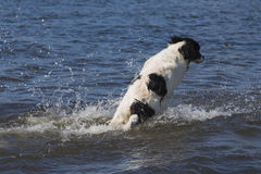 Landseer ECT imitating a breaching humpback whale. A 6 months old female Landseer European Continental Type (ECT) is playing in the warm water, breaching the Royalty Free Stock Photography