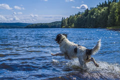 Landseer escaping gravity in a large Swedish lake. A young Landseer European Continetnal Type takes flight and escapes out into the water of lake in western Royalty Free Stock Image