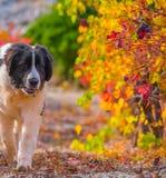 Landseer-Hundewelpe Lizenzfreies Stockfoto