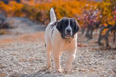 Landseer-Hundewelpe Stockfotos