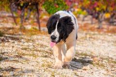Landseer-Hundewelpe Stockbild