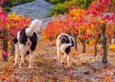 Landseer-Hundewelpe Lizenzfreie Stockfotografie