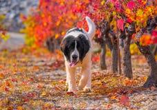Landseer-Hundewelpe Lizenzfreie Stockbilder