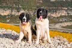 Landseer-Hundewelpe Stockfoto