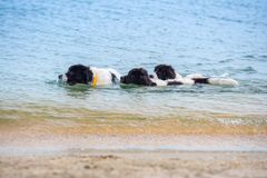 Landseer hundvalp Royaltyfri Fotografi