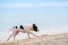 Landseer hundvalp Royaltyfria Bilder