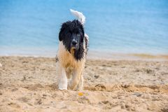 Landseer hundvalp Royaltyfri Bild