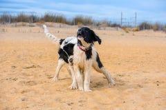 Landseer hundvalp Arkivbilder