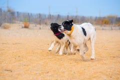 Landseer hundvalp Arkivfoto