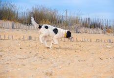Landseer hundvalp Fotografering för Bildbyråer