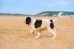 Landseer hundvalp Royaltyfri Foto