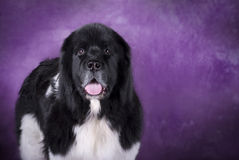 Landseer Newfoundland Dog on Purple Stock Photo