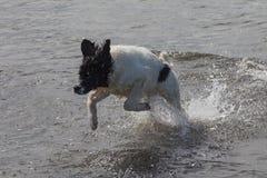 Landseer novo ECT que joga na água Imagem de Stock Royalty Free