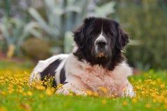 Landseer pies zdjęcia stock