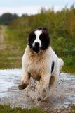 Landseer pies ma zabawę obrazy royalty free