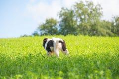 Landseer psa szczeniak Obraz Stock